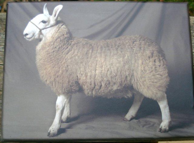 Beautiful Sheep notecards