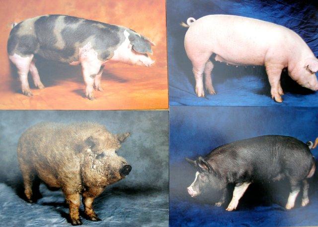 Beautiful Pigs notecards